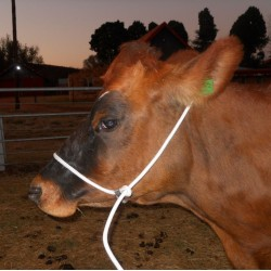 HALTER CATTLE SHIPPING ROPE